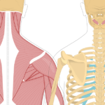 Featured image showing two views of the posterior view of the occipital region of the skull, cervical and thoracic regions of the spinal column, upper arm and scapulae. The image on the left shows the bony elements and the muscles of the back and next, the image on the right shows isolated Obliquus Capitis Inferior.