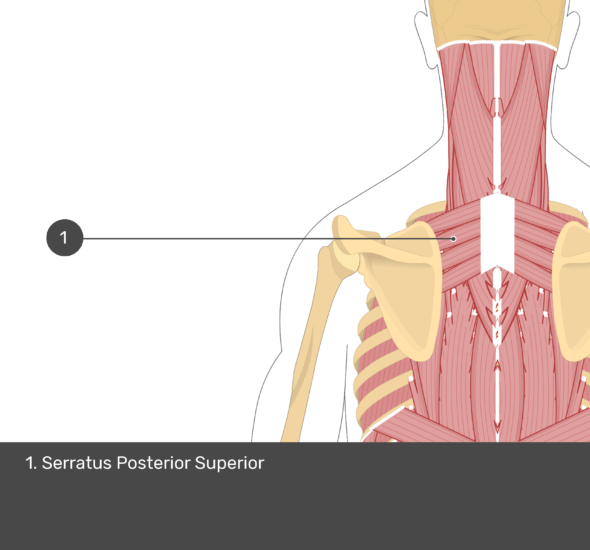A quiz image of the posterior view of the occipital region of the skull, cervical and thoracic regions of the spinal column, upper arm, scapulae and the deeper muscle layer. The only muscle labelled 1 is Serratus Posterior Superior.