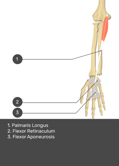 A test yourself image of the anterior view of the forearm showing the bony elements and the deeper muscles. The visible structures of the forearm are numbered 1-3. The answers in the box below are as follows 1. Palmaris Longus 2. Flexor Retinaculum 3. Flexor Aponeurosis.