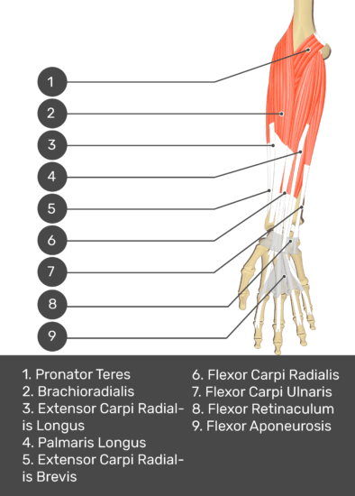 A test yourself image of the anterior view of the forearm showing the bony elements and the deeper muscles. The visible structures of the forearm are numbered 1-9. The answers in the box below are as follows 1. Pronator Teres 2. Brachioradialis 3. Extensor Carpi Radialis Longus 4. Palmaris Longus 5. Extensor Carpi Radialis Brevis 6. Flexor Carpi Radialis 7. Flexor Carpi Ulnaris 8. Flexor Retinaculum 9. Flexor Aponeurosis.
