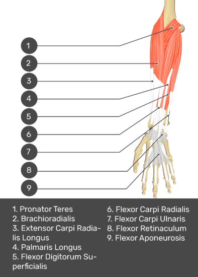 deeper muscles. The visible structures of the forearm are numbered 1-9. The answers in the box below are as follows: 1. Pronator Teres 2. Brachioradialis 3. Extensor Carpi Radialis Longus 4. Palmaris Longus 5. Flexor Digitorum Superficialis 6. Flexor Carpi Radialis 7. Flexor Carpi Ulnaris 8. Flexor Retinaculum 9. Flexor Aponeurosis.