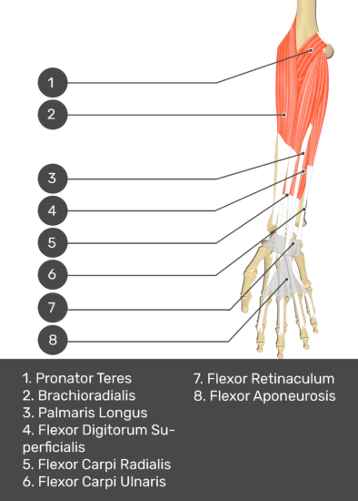 A test yourself image of the anterior view of the forearm showing the bony elements and the deeper muscles. The visible structures of the forearm are numbered 1-8. The answers in the box below are as follows 1. Pronator Teres 2. Brachioradialis 3. Palmaris Longus 4. Flexor Digitorum Superficialis 5. Flexor Carpi Radialis 6. Flexor Carpi Ulnaris 7. Flexor Retinaculum 8. Flexor Aponeurosis.