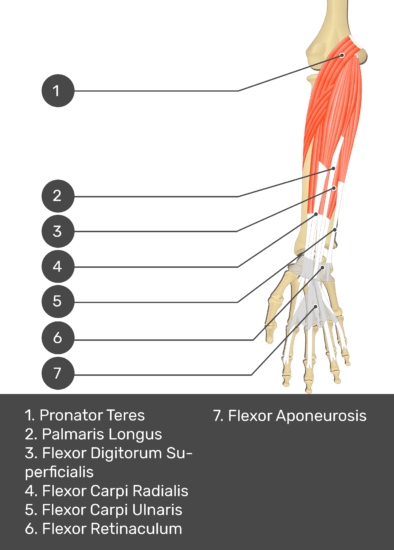 A test yourself image of the anterior view of the forearm showing the bony elements and the deeper muscles. The visible structures of the forearm are numbered 1-7. The answers in the box below are as follows 1. Pronator Teres 2. Palmaris Longus 3. Flexor Digitorum Superficialis 4. Flexor Carpi Radialis 5. Flexor Carpi Ulnaris 6. Flexor Retinaculum 7. Flexor Aponeurosis.