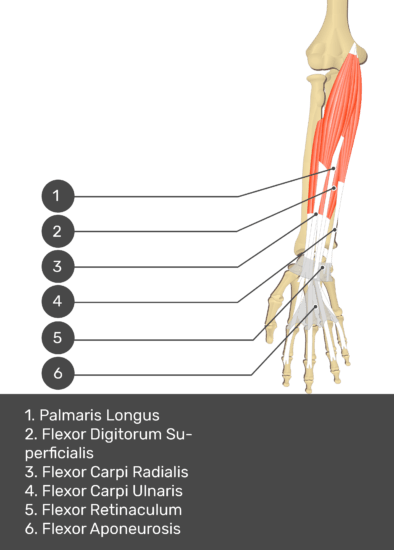 A test yourself image of the anterior view of the forearm showing the bony elements and the deeper muscles. The visible structures of the forearm are numbered 1-6. The answers in the box below are as follows 1. Palmaris Longus 2. Flexor Digitorum Superficialis 3. Flexor Carpi Radialis 4. Flexor Carpi Ulnaris 5. Flexor Retinaculum 6. Flexor Aponeurosis.
