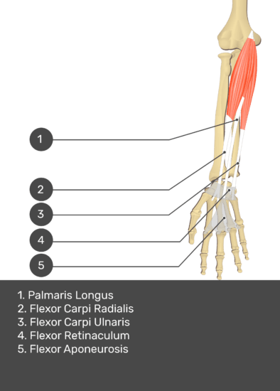 A test yourself image of the anterior view of the forearm showing the bony elements and the deeper muscles. The visible structures of the forearm are numbered 1-5. The answers in the box below are as follows 1. Palmaris Longus 2. Flexor Carpi Radialis 3. Flexor Carpi Ulnaris 4. Flexor Retinaculum 5. Flexor Aponeurosis.