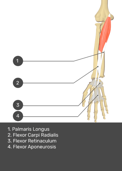 A test yourself image of the anterior view of the forearm showing the bony elements and the deeper muscles. The visible structures of the forearm are numbered 1-4. The answers in the box below are as follows 1.Palmaris Longus 2. Flexor Carpi Radialis 3. Flexor Retinaculum 4. Flexor Aponeurosis.