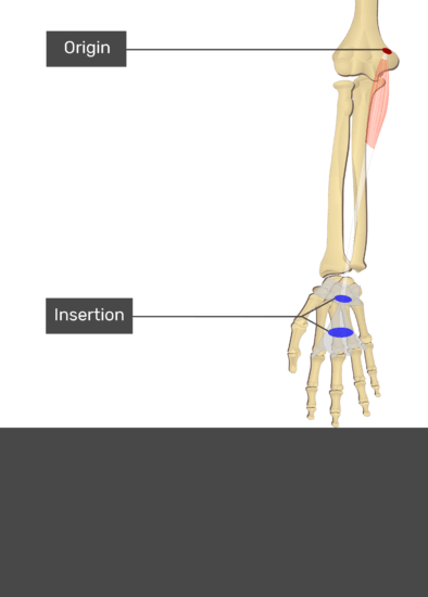 A test yourself image of the anterior view of the forearm showing the bony elements and the attachment of the Flexor Carpi Radialis muscle. Origin at the medial epicondyle of humerus is marked by a red oval. The insertion at the flexor retinaculum and palmar aponeurosis are marked by blue ovals. Transparent Palmaris Longus muscle connects the two attachment sites.