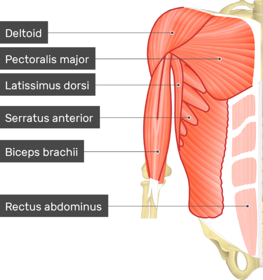 An image showing some upper limb muscles (Deltoid, Pectoralis minor, Latissimus dorsi, Serratus anterior, Brachialis and Rectus abdominis) , The Pectoralis minor muscle are hidden underneath those muscles