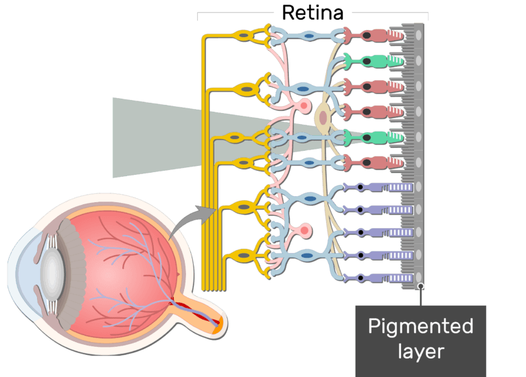 An image showing the parts of the retina and the visual pathway, the Pigmented layer is labeled