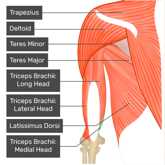 A posterior view of the upper arm and shoulder showing the bony elements and the associated muscles. The visible, labelled muscles are as follows: Trapezius, Deltoid, Teres Minor, Teres Major, Triceps Brachii: Long Head, Triceps Brachii: Lateral Head, Latissimus Dorsi, Triceps Brachii: Medial Head (highlighted in green).
