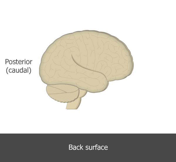 An image showing the posterior direction of the brain (lateral view)