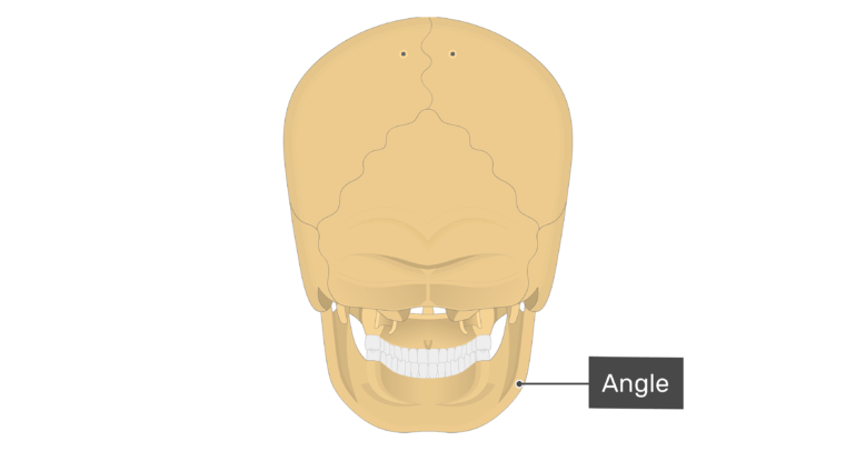 Posterior view of the angle of the mandible