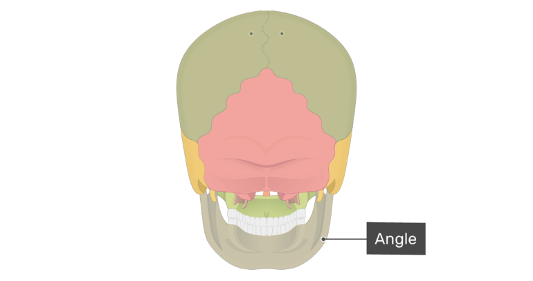 Posterior view of the angle of the mandible with divisions shown