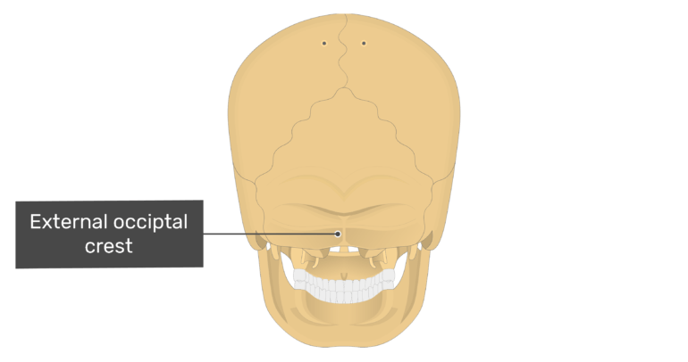 Posterior view of the external occipital crest