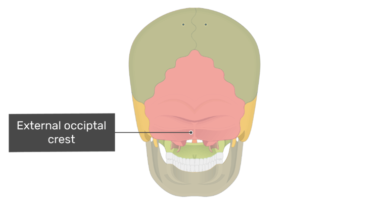 Posterior view of the external occipital crest with divisions shown