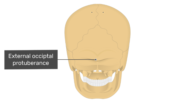 Posterior view of the external occipital protuberance