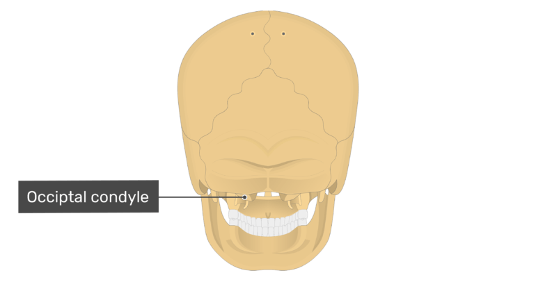 Posterior view of the occipital condyle of the skull