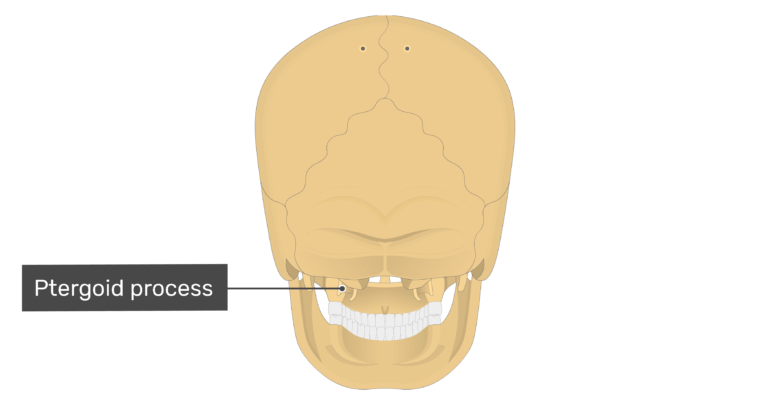 Posterior view of the pterygoid process of the skull