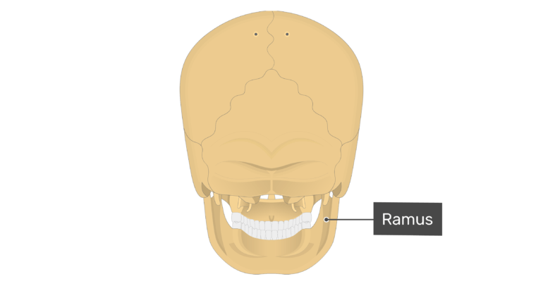 Posterior view of the ramus of the mandible