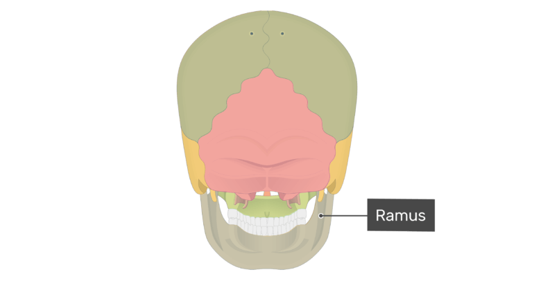 Posterior view of the ramus of the mandible with divisions shown