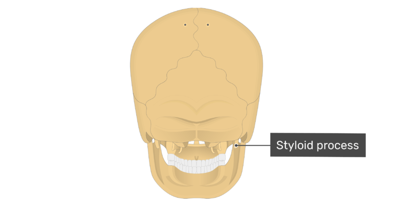 Posterior view of the styloid process of the skull