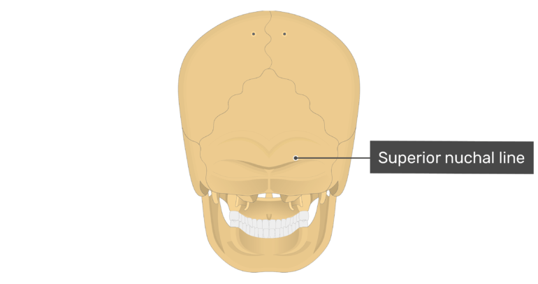 Posterior view of the superior nuchal line of the skull