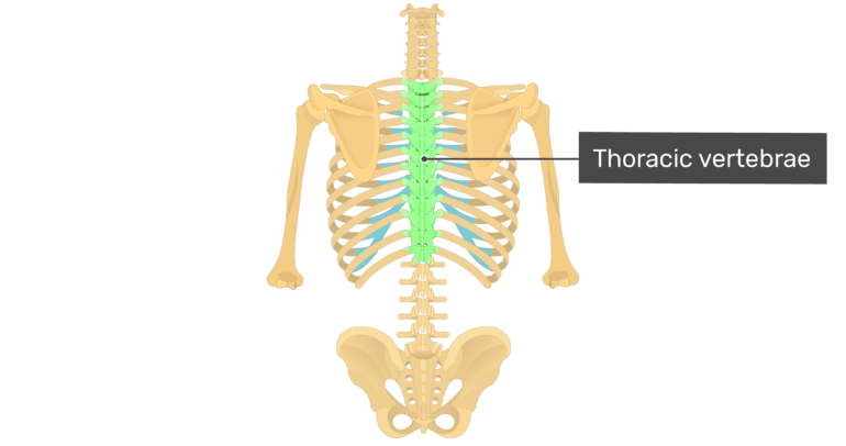 Posterior view of the vertebral column and rib cage with the thoracic vertebrae highlighted in green and labelled