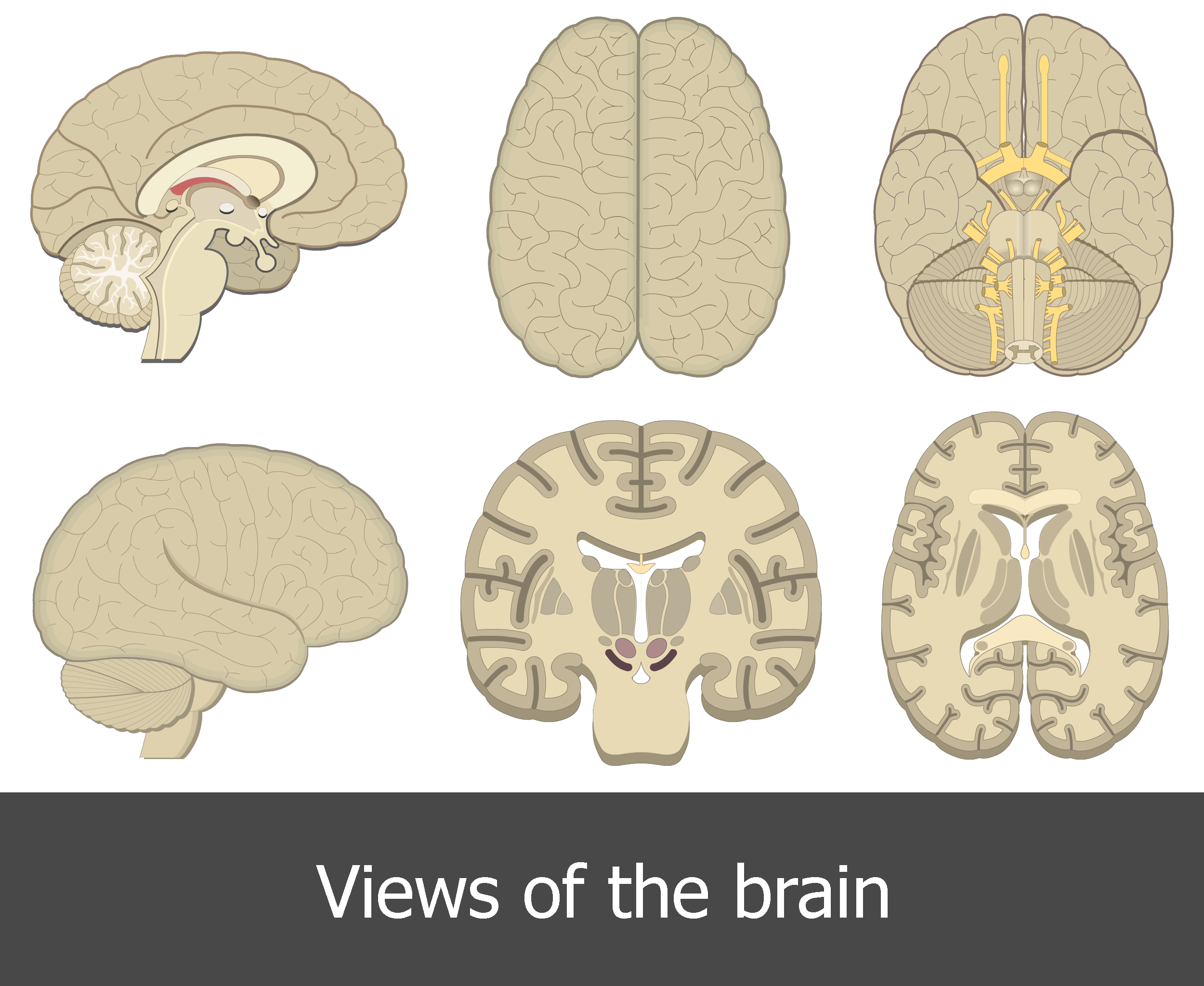 An image showing all brain perspectives/views (lateral - medial - superior - inferior - coronal - horizontal)