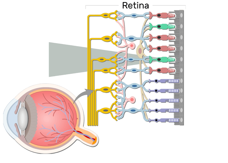 An image showing the parts of the retina and the visual pathway