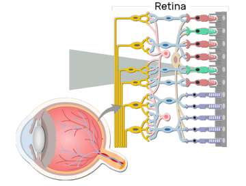 Retina - Anatomy and physiology - Featured