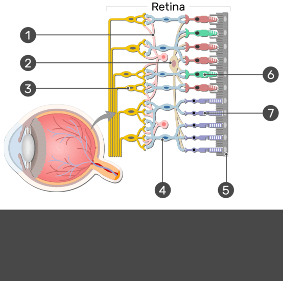 Test yourself image showing the parts of the retina and the visual pathway, the Amacrine cell, Horizontal cell, Ganglion cell, Bipolar cell, Cone, Rod, and Pigmented layer are numbered without answers
