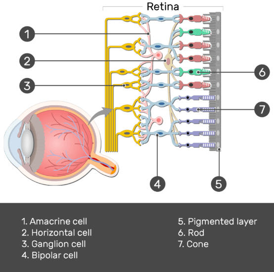 Test yourself image showing the parts of the retina and the visual pathway, the Amacrine cell, Horizontal cell, Ganglion cell, Bipolar cell, Cone, Rod, and Pigmented layer are numbered without answers below