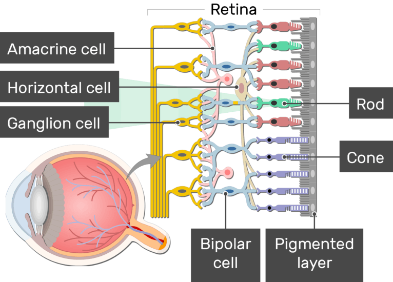 An image showing the physiology of the retina, the light stimulates the rods generating an action potential which moves to the Ganglion cell through the bipolar neuron, the Amacrine cell, Horizontal cell, Ganglion cell, Bipolar cell, Cone, Rod, and Pigmented layer are labeled