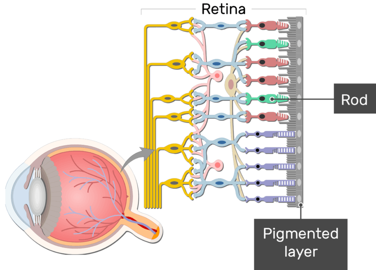 An image showing the parts of the retina and the visual pathway, the Rod, and Pigmented layer are labeled