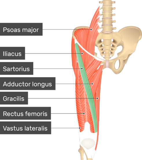 An image showing the Sartorius muscle (highlighted) attached to the lower limb along with other muscles (Psoas major, Iliacus, Adductor longus, Gracilis, Rectus femoris and Vastus lateralis)