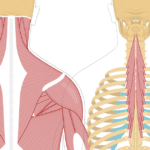 Featured image showing two views of the posterior view of the occipital region of the skull, cervical and thoracic regions of the spinal column, upper arm and scapulae. The image on the left shows the bony elements and the muscles of the back and next, the image on the right shows isolated Semispinalis Thoracis Muscle.