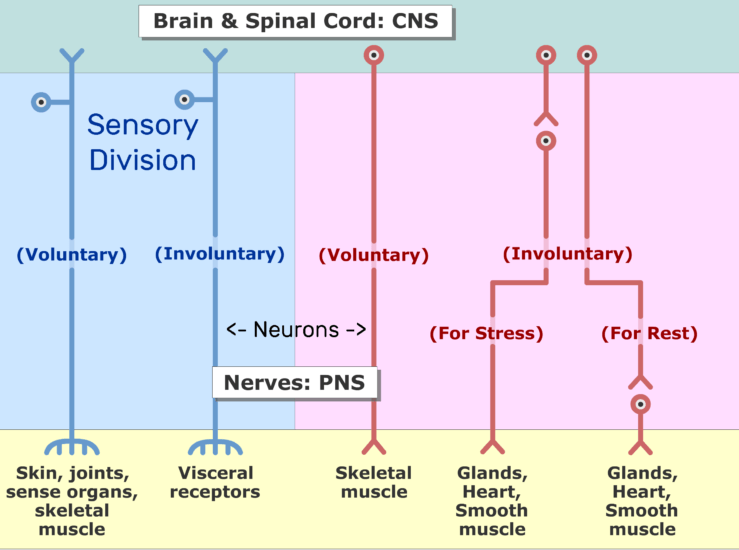 An image showing the two divisions of the nervous system (Sensory and motor) and the subdivisions (voluntary and involuntary) sections, the Sensory division is labeled