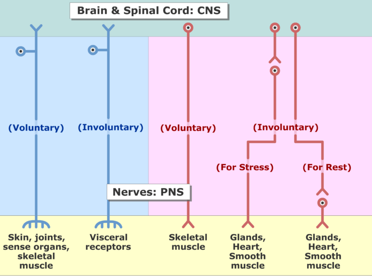 An image showing the two divisions of the nervous system (Sensory and motor) and the subdivisions (voluntary and involuntary) sections
