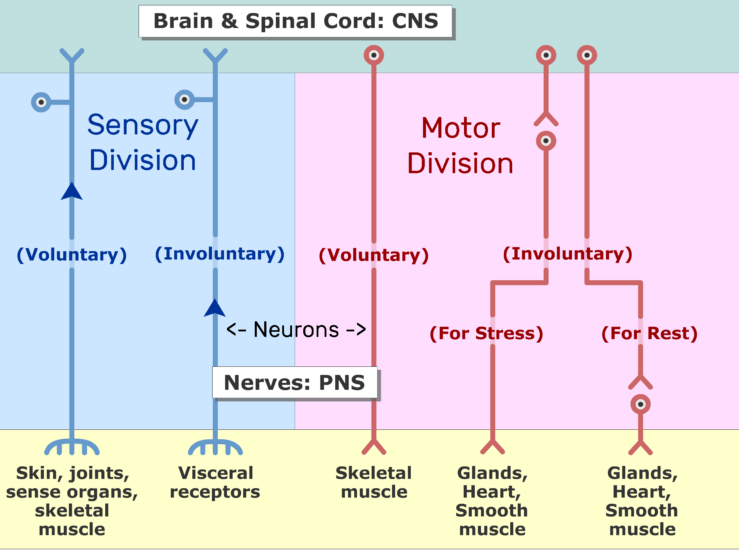 An image showing the sensory impulses moving from the receptors to the CNS through neurons axon
