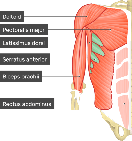 An image showing the Serratus Anterior Muscle (highlighted) attached to the upper limb skeleton along with other muscles (Deltoid, Pectoralis major, Latissimus dorsi, Biceps branchii and rectus abdominus)