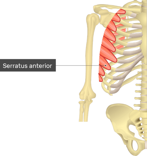 An image showing the Serratus Anterior Muscle attached to the upper limb skeleton