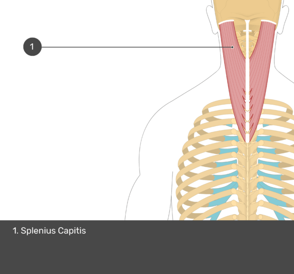 A quiz image of the posterior view of the occipital region of the skull, cervical and thoracic regions of the spinal column, upper arm, scapulae and the deeper muscle layer. The only visible muscle labelled 1. is Splenius Capitis.