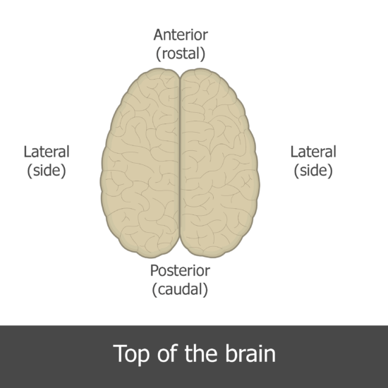 An image showing the directions of the superior view of the brain