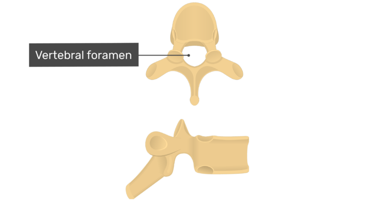Superior and lateral view of the vertebral foramen