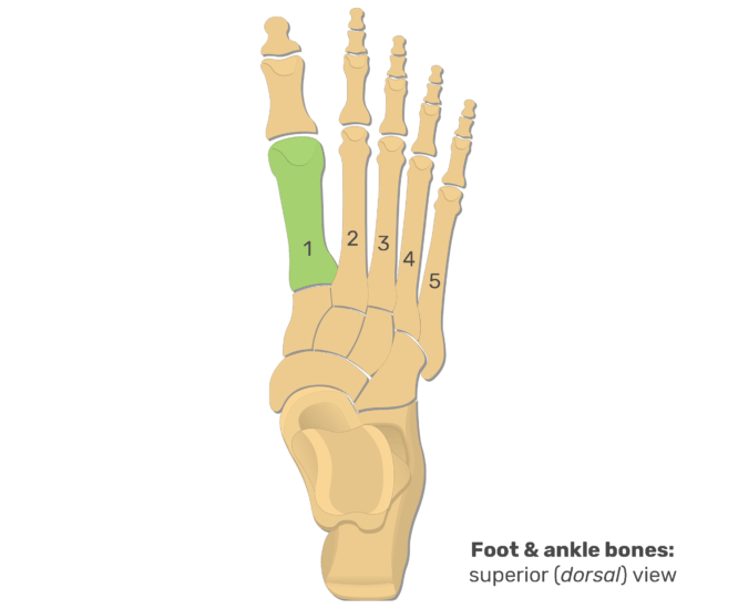 Superior view of the foot and ankle bones with the 1st metatarsal bone highlighted in green