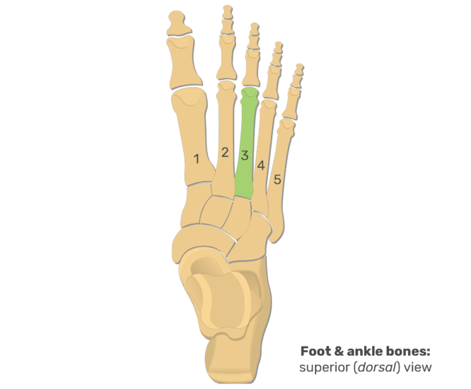 Superior view of the foot and ankle bones with the 3rd metatarsal bone highlighted in green