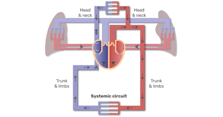 Systemic circuit animation slide 4