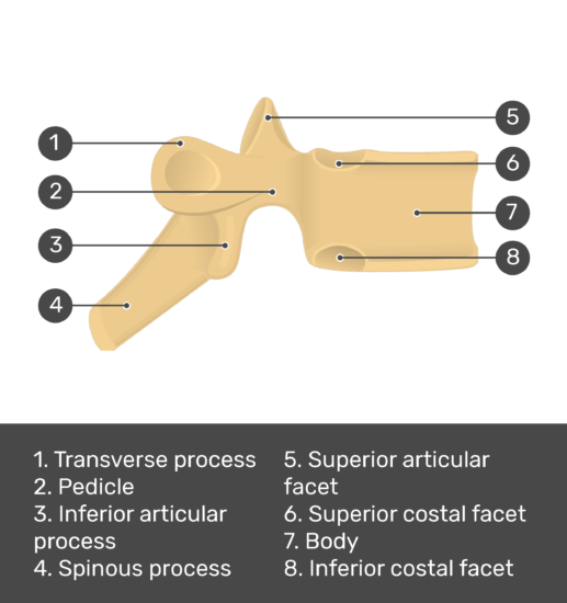Test yourself image for the lateral view of a thoracic vertebra with answers shown; transverse process, pedicle, inferior articular process, spinous process, superior articular facet, superior costal facet, body, inferior costal facet