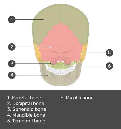 test yourself image for the posterior view of the skull bone with answers shown; parietal bone, occipital bone, sphenoid bone, mandible bone, temporal bone, maxilla bone