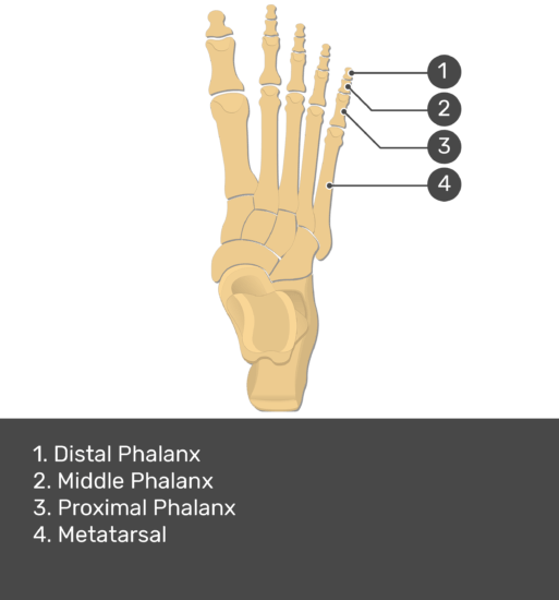test yourself image for the metatarsal bones and phalanges with answers shown: distal phalanx, middle phalanx, proximal phalanx, metetarsal